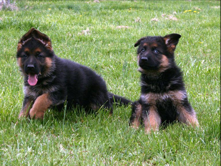 German Shepherd Breeders In Germany