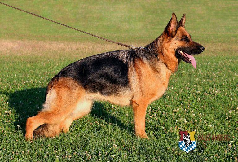German Shepherd Colors Red & Black