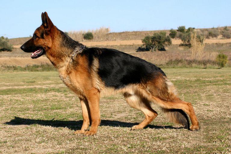German Shepherd Hip Dysplasia Prevention