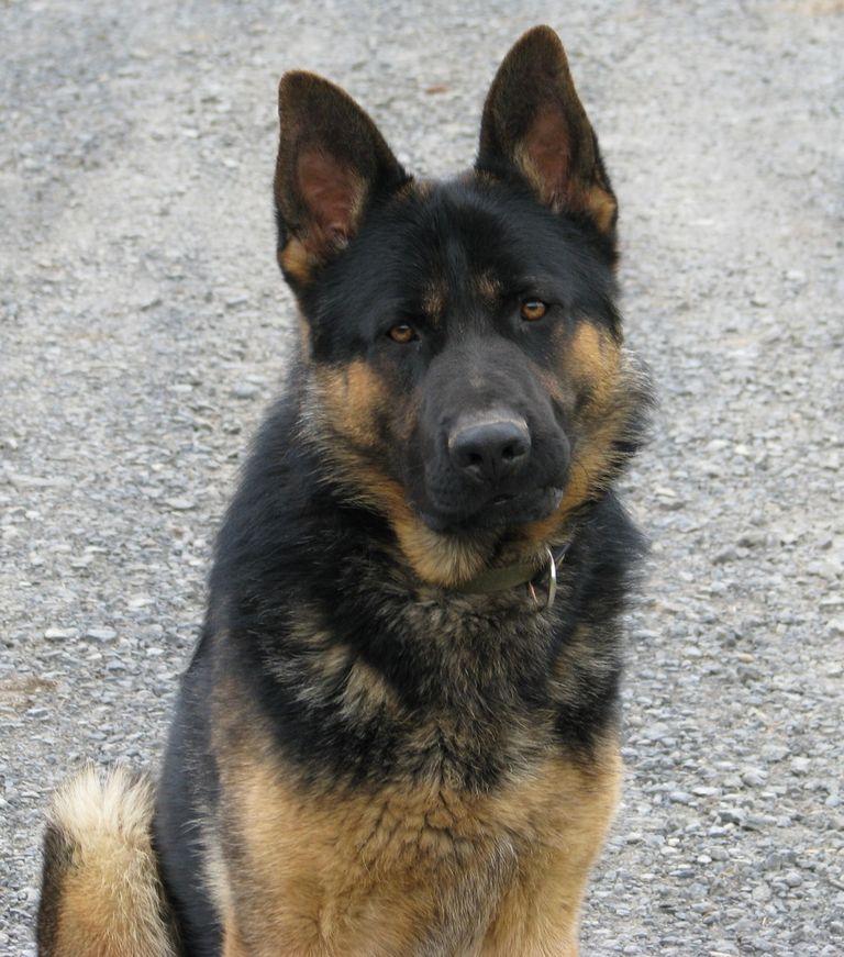 German Shepherd Puppies Binghamton Ny | Top Dog Information