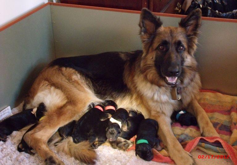 German Shepherd Puppies Cleveland Ohio