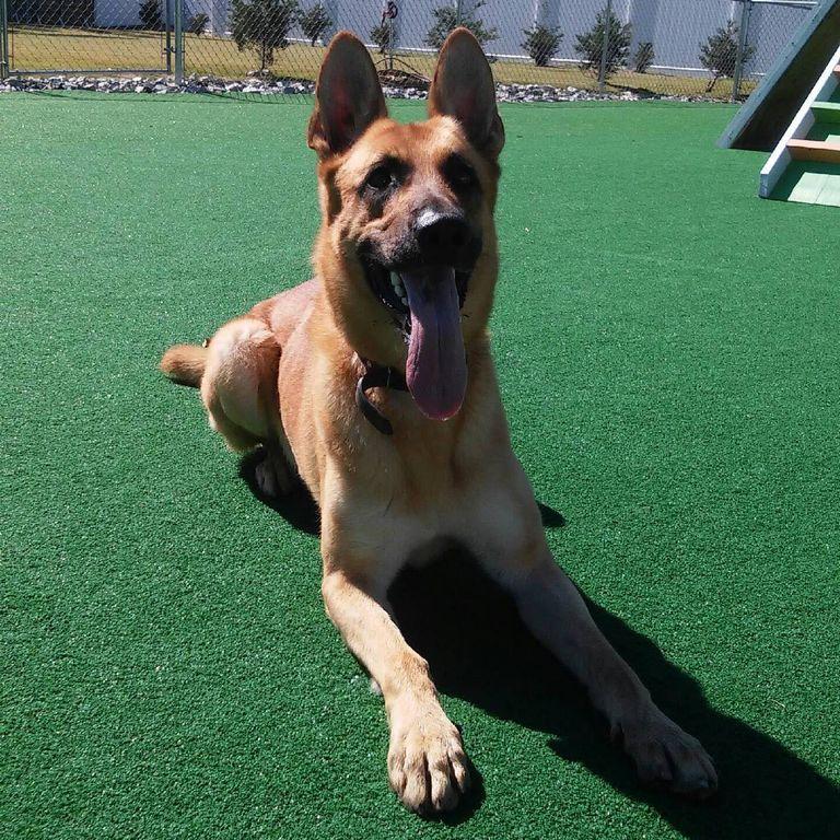 German Shepherd Puppies For Sale In Greensboro Nc   Top ...