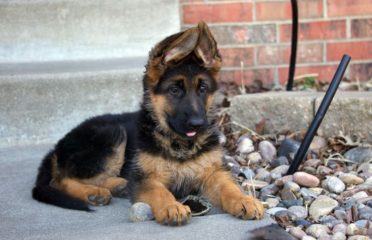 German Shepherd Puppies For Sale In Kansas