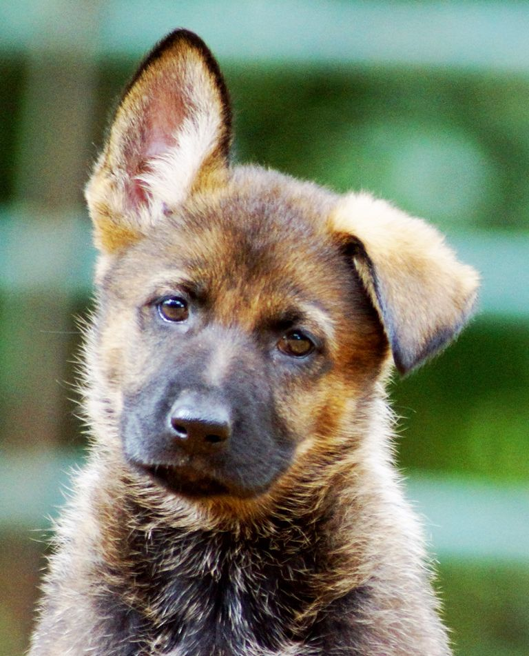 German Shepherd Puppies Ny