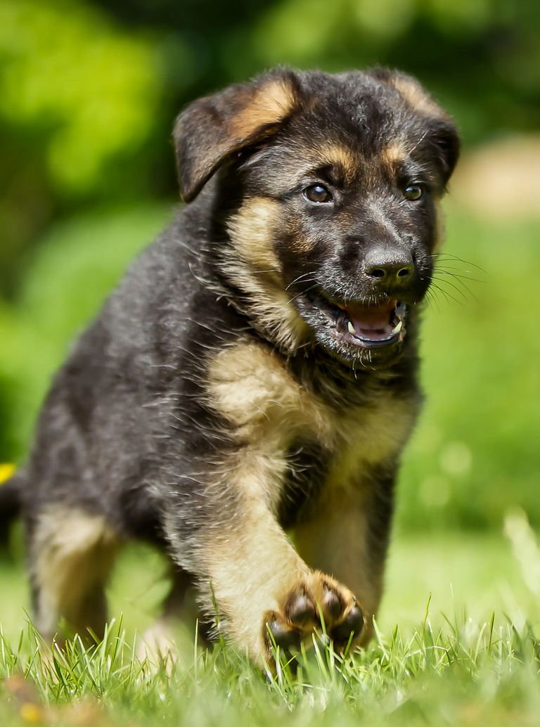 German Shepherd Puppy Top Dog Information