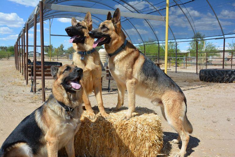 German Shepherd Rescue Arizona