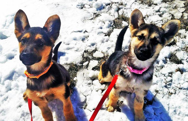 German Shepherd Rescue In South Dakota   Top Dog Information