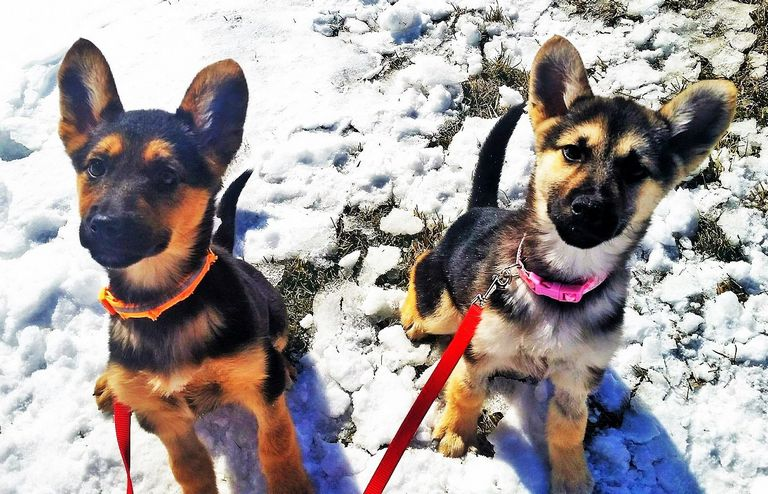 German Shepherd Rescue Lake Mills Iowa