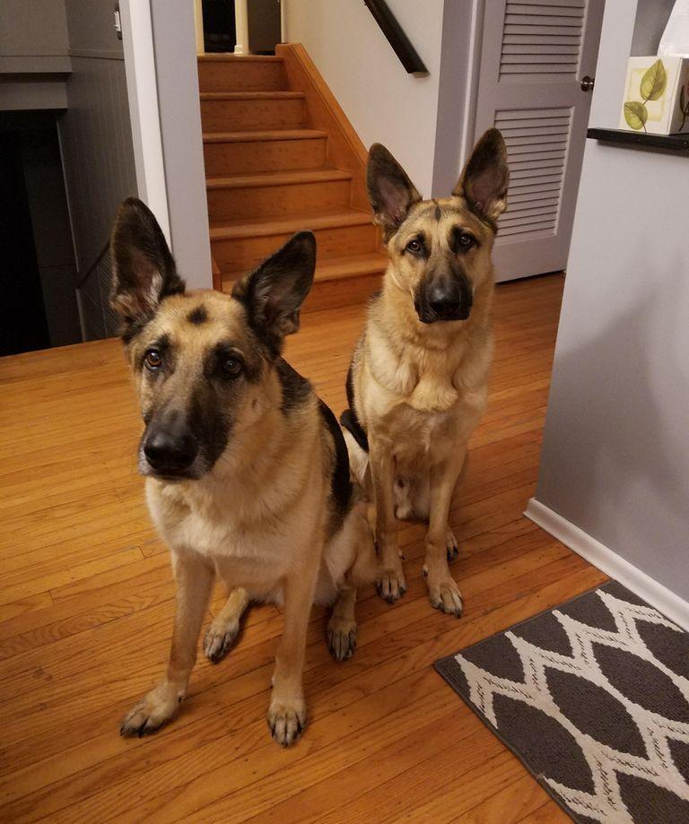 German Shepherd Rescue Syracuse Ny