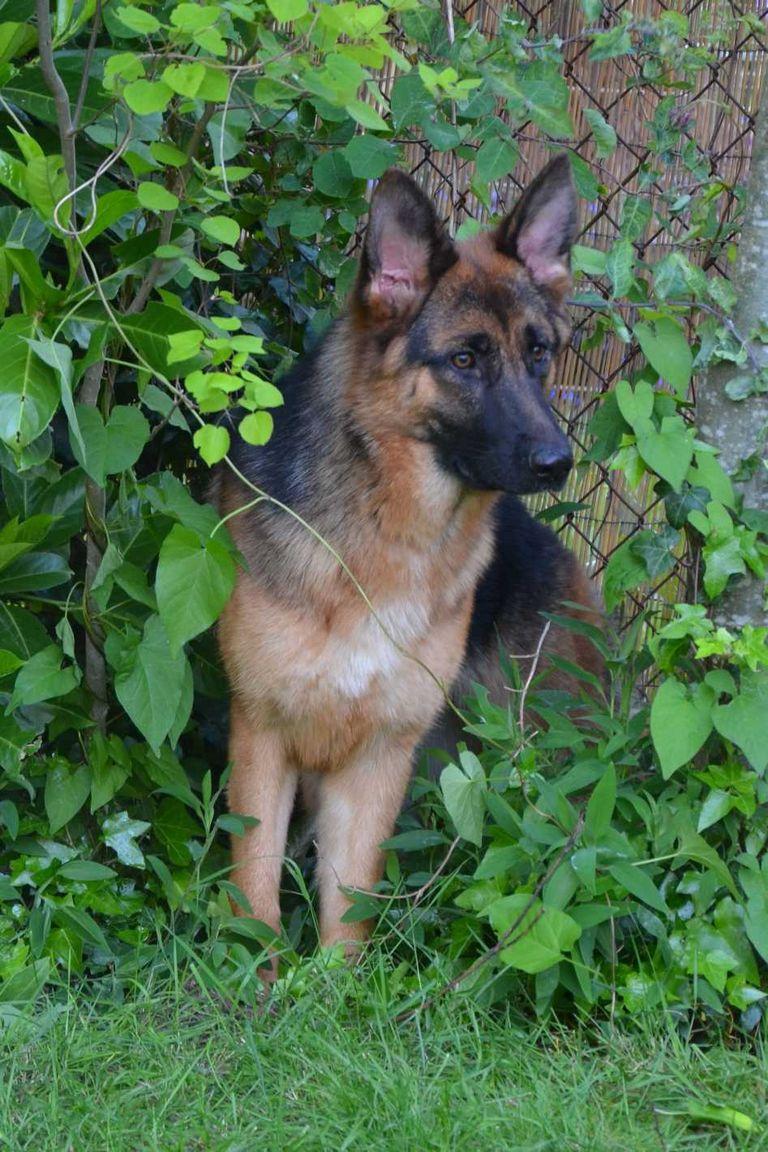 German Shepherd Rescue Wa