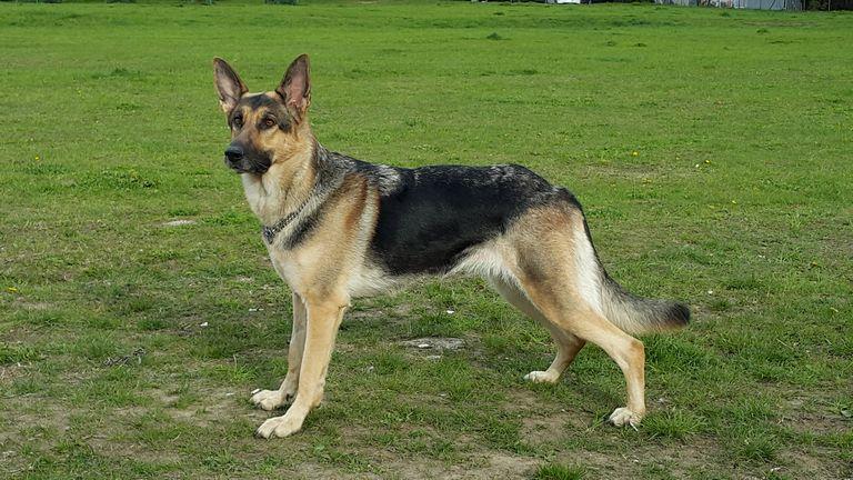 German Shepherd Weight Female 49 71 Lbs