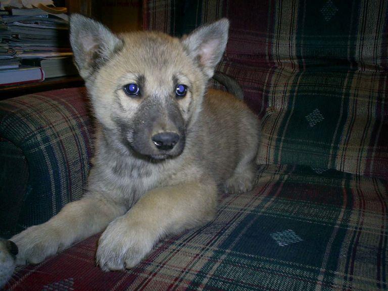 German Shepherd Wolf Hybrid Puppies For Sale | Top Dog Information