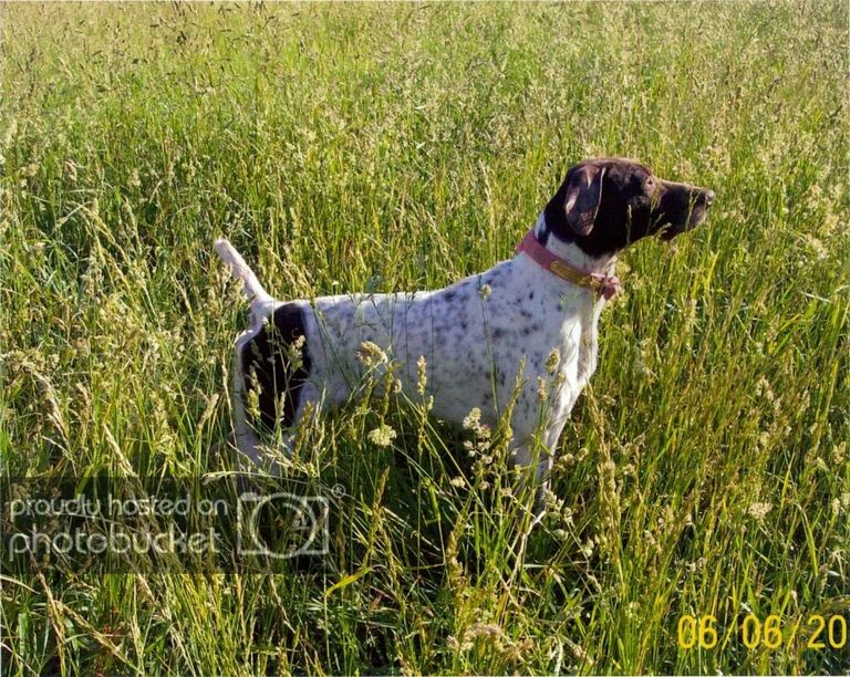 German Shorthair Puppies Western Iowa