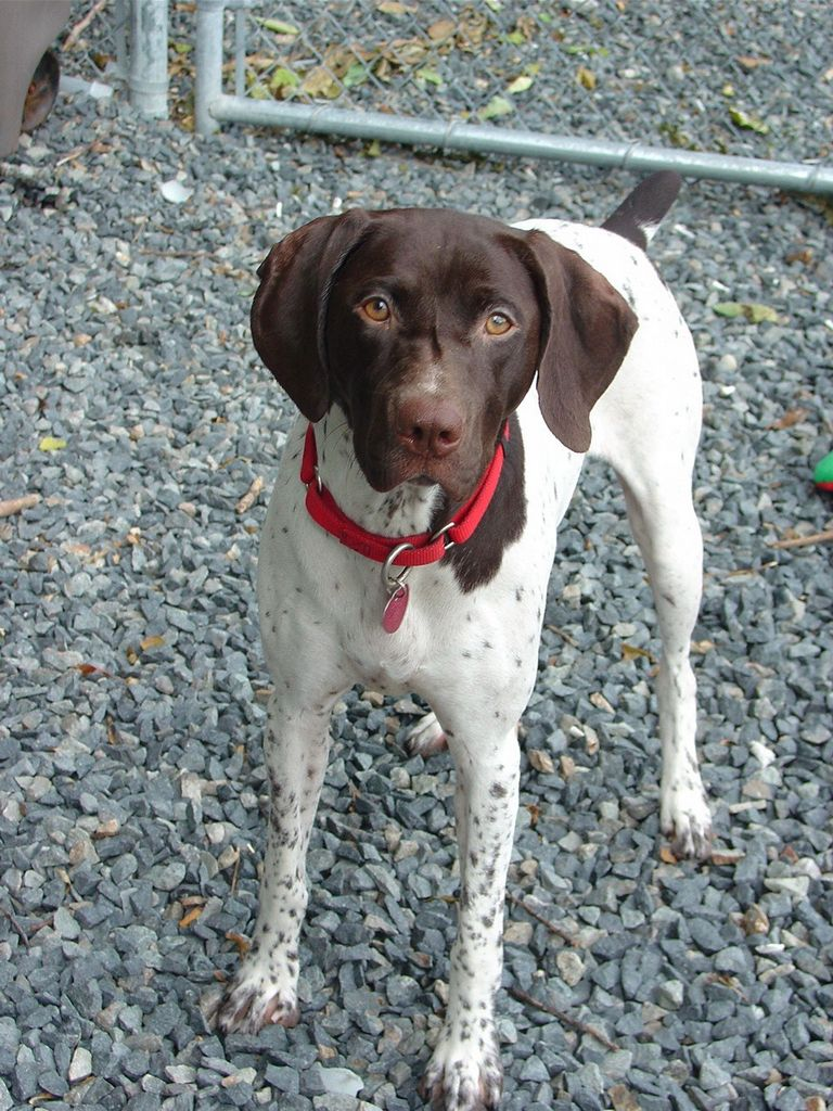 German Shorthaired Pointer Colors Liver & White