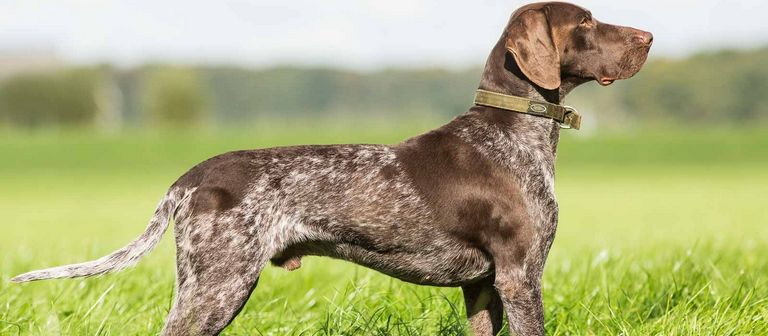 German Shorthaired Pointer Free To Good Home