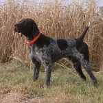 German Shorthaired Pointer Puppies California