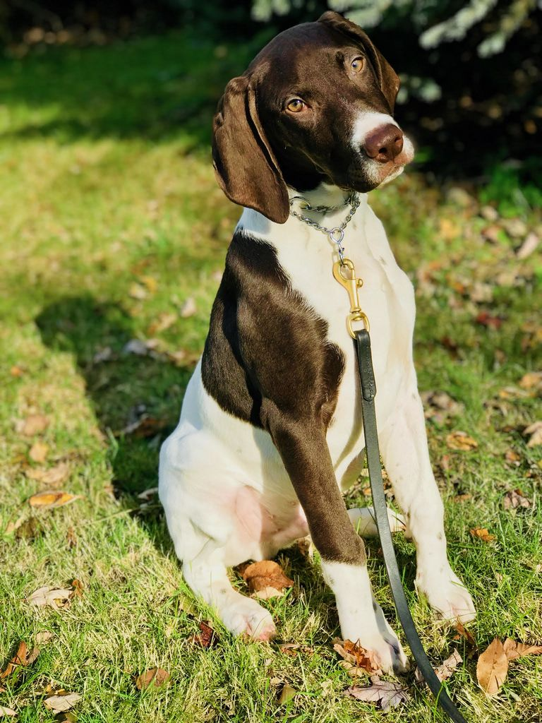 German Shorthaired Pointer Puppies Florida
