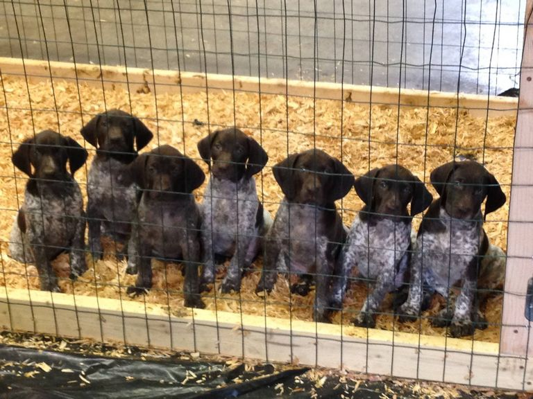 German Shorthaired Pointer Puppies For Sale Seattle