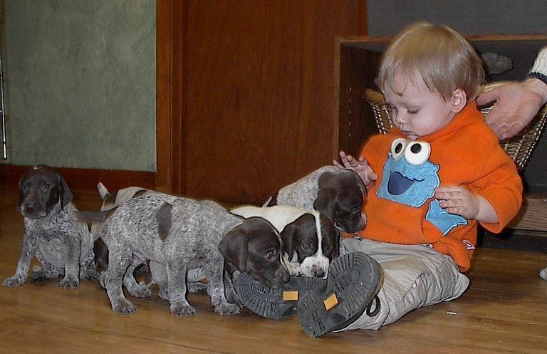 German Shorthaired Pointer Puppies Illinois