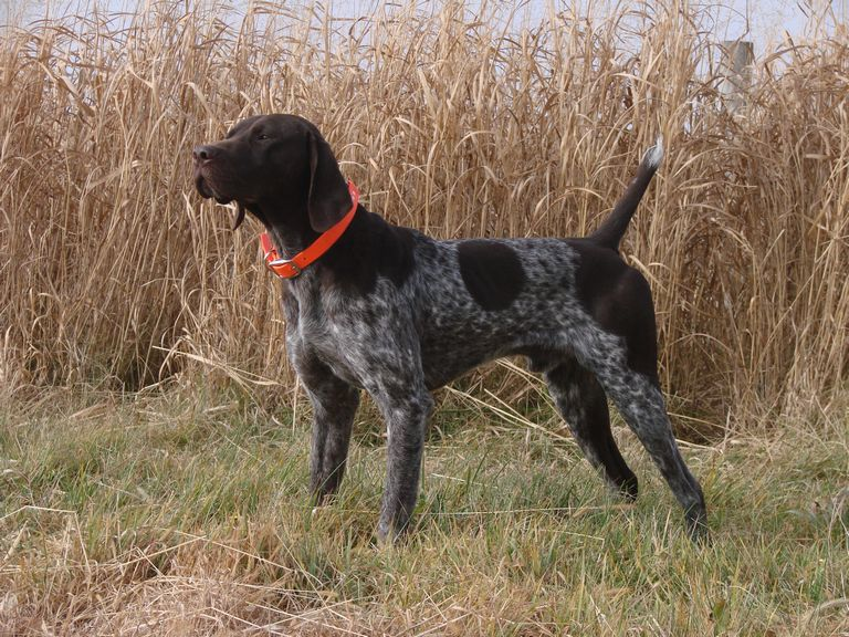 German Shorthaired Pointer Puppies Kentucky