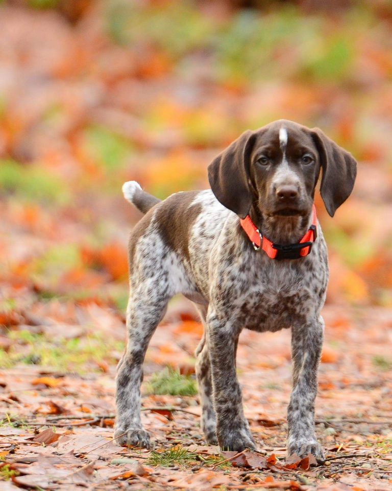 German Shorthaired Pointer Puppies Ny Top Dog Information