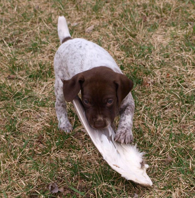 German Shorthaired Pointer Puppies Ohio