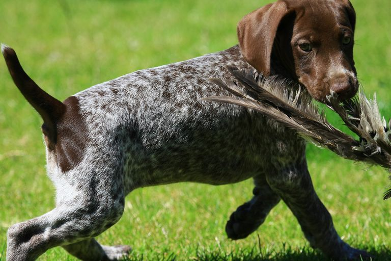 German Shorthaired Pointer Shedding