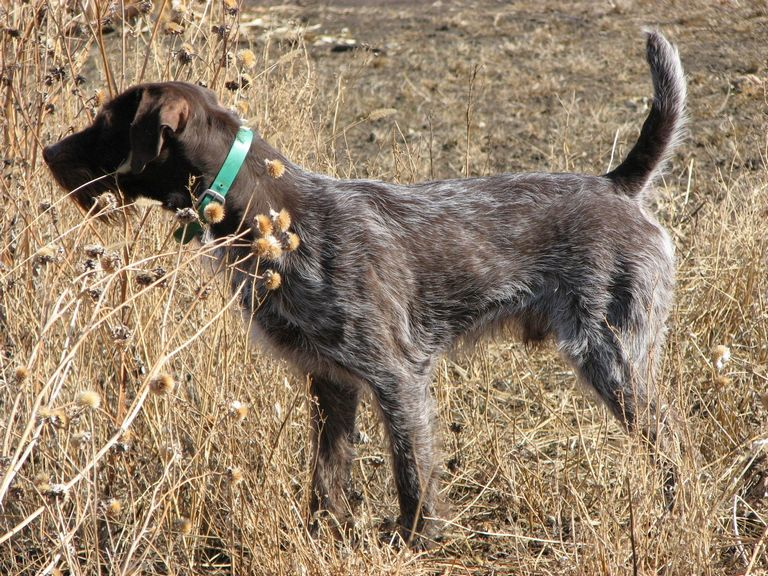 German Wirehaired Pointer Puppies For Sale In South Dakota