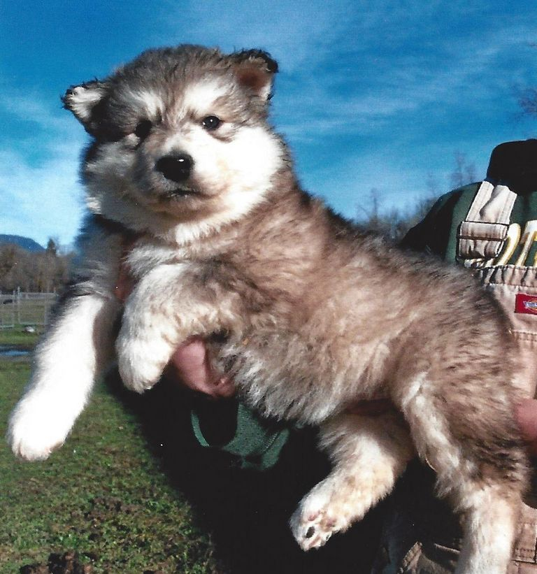 Giant Alaskan Malamute Puppies For Sale In Florida