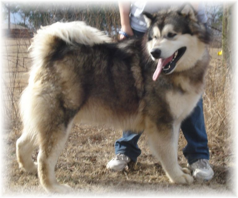 Giant Alaskan Malamute Puppies For Sale Nc