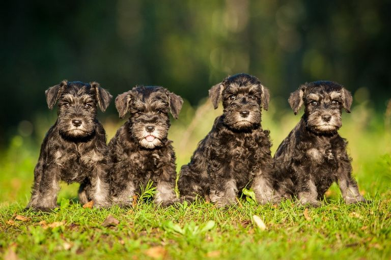Giant Schnauzer Arizona Top Dog Information
