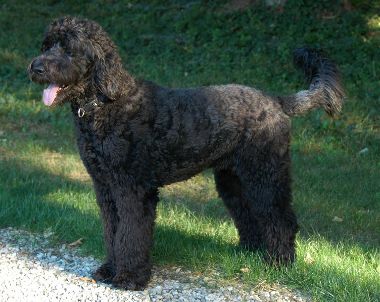 Giant Schnoodle For Adoption   Top Dog Information