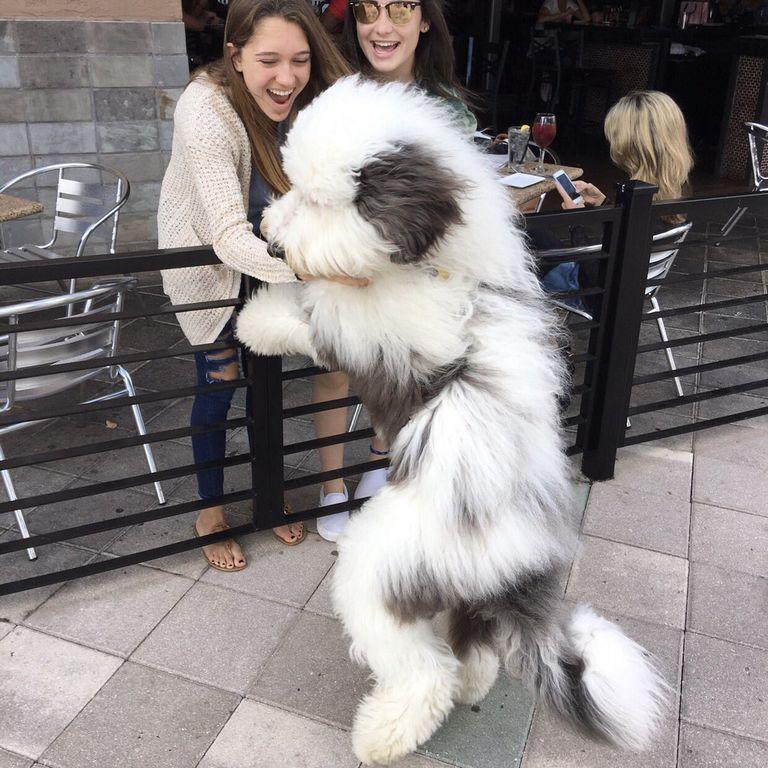 Giant Sheepadoodle