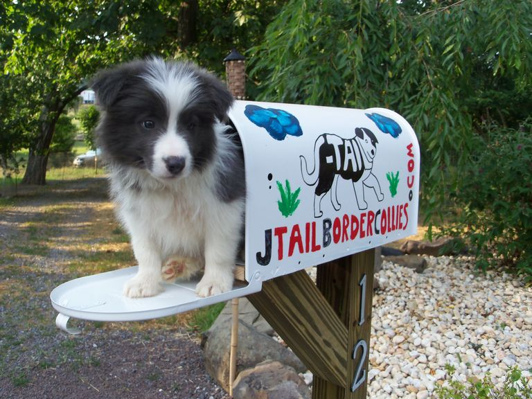 Gold Border Collie Puppies For Sale