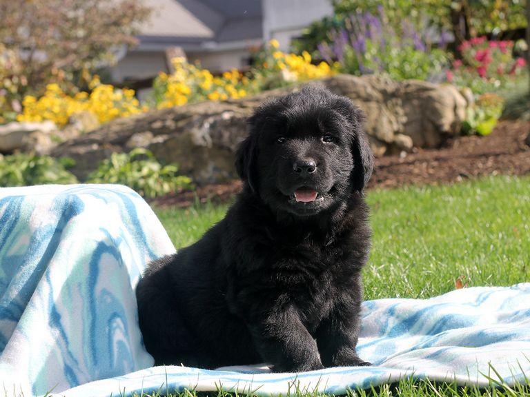Golden Newfoundland Puppies For Sale