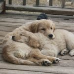 Golden Retriever Breeders In Northeast Pa