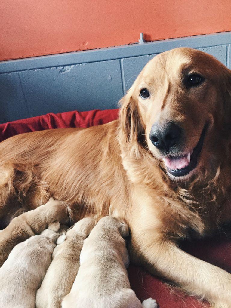 Golden Retriever Breeders Miami | Top Dog Information