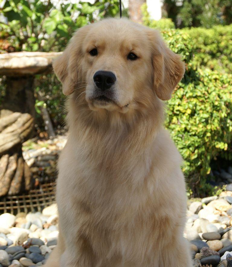 Golden Retriever Puppies Brevard County Florida