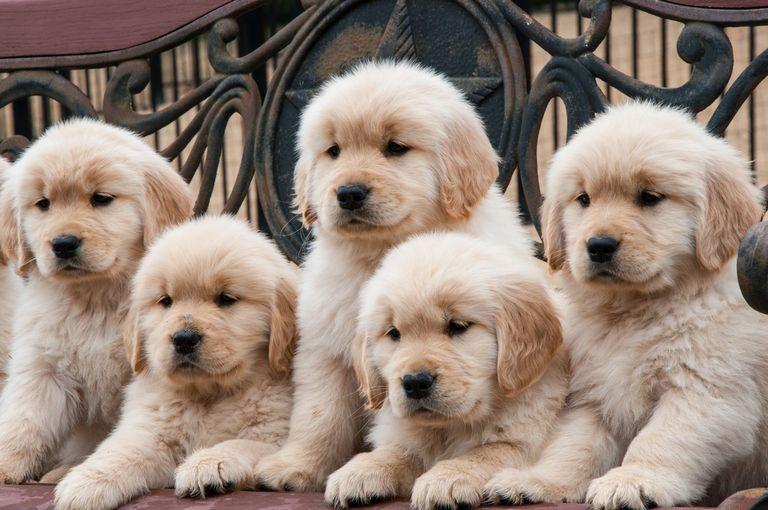 Golden Retriever Puppies Chandler Az