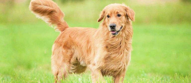 Golden Retriever Puppies Dutchess County Ny