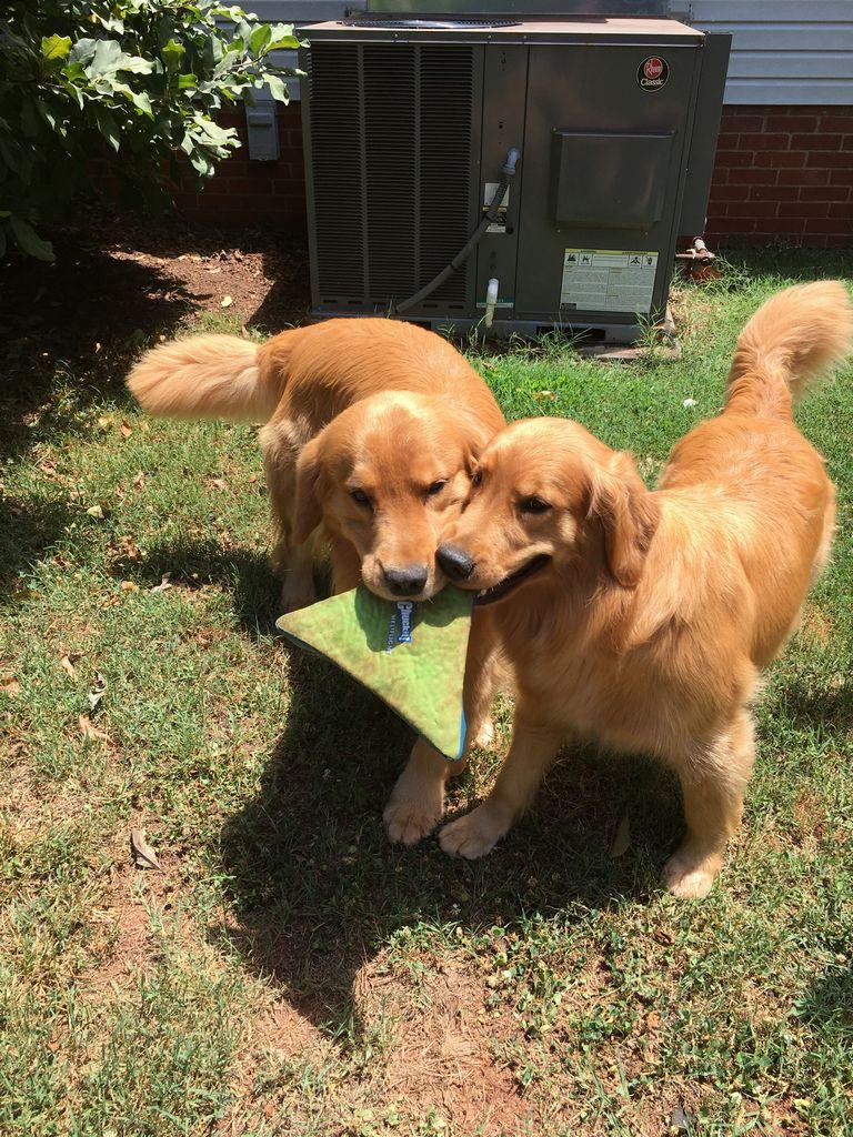 Golden Retriever Puppies For Sale Beaufort Sc
