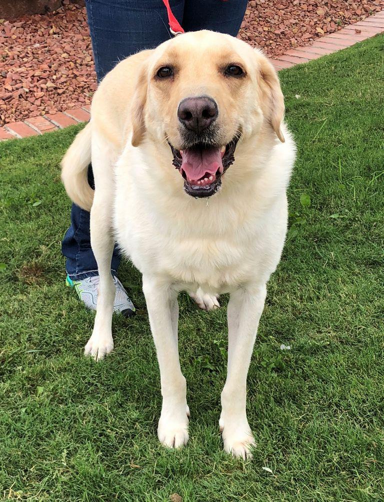 Golden Retriever Puppies For Sale In El Paso Texas | Top ...