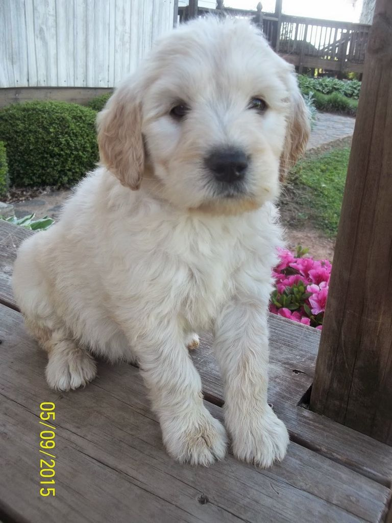 Golden Retriever Puppies Greensboro Nc
