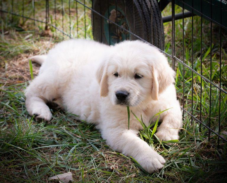 Golden Retriever Puppies Manhattan Ks