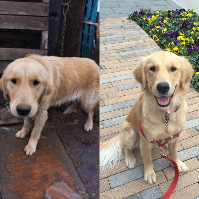 Golden Retriever Puppies Pittsburgh Rescue