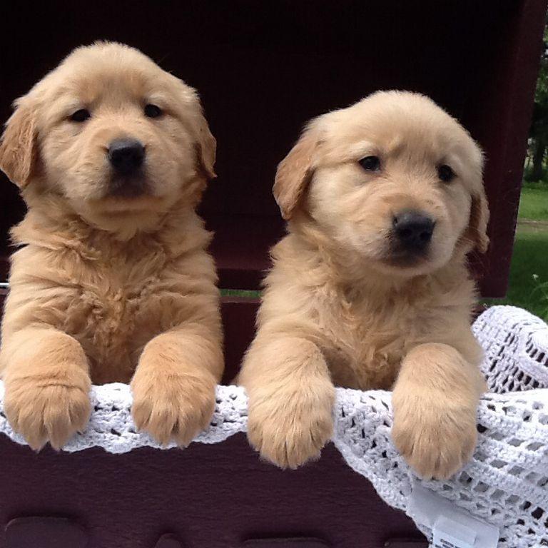 Golden Retriever Puppies Plattsburgh Ny
