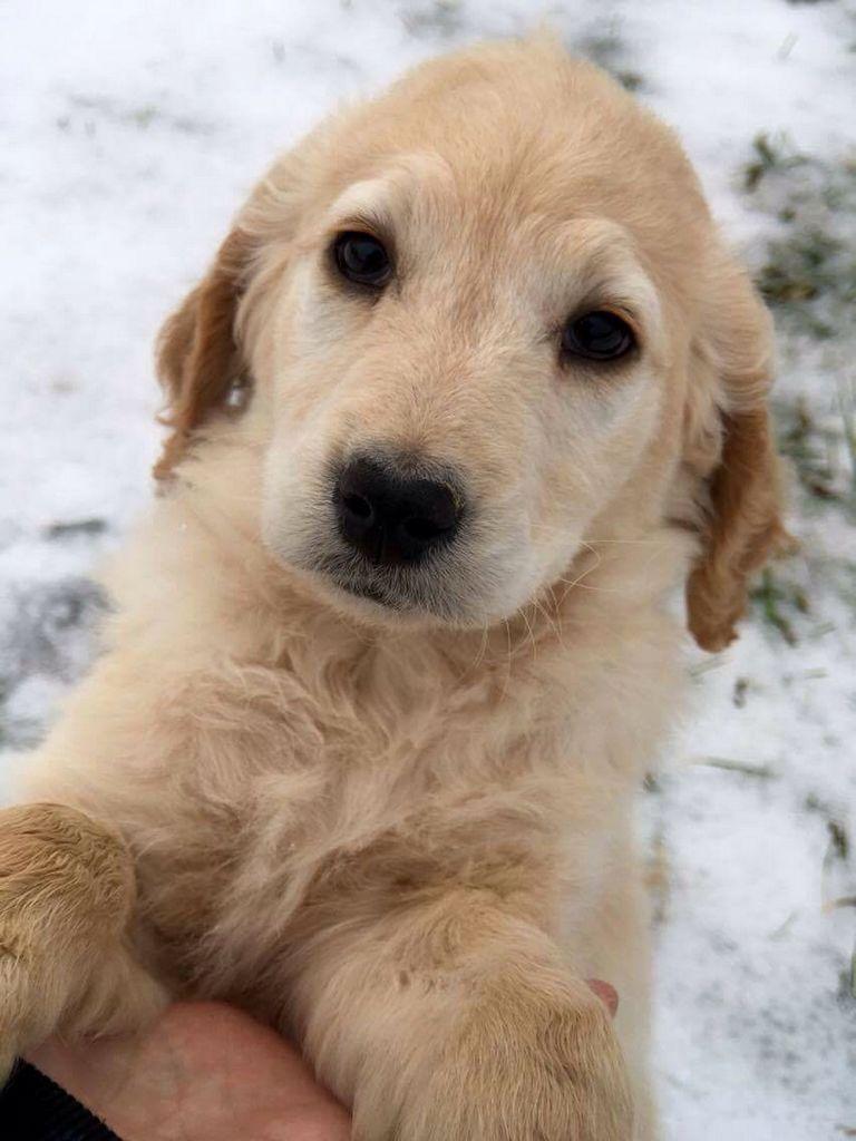 Golden Retriever Puppies Rochester Ny