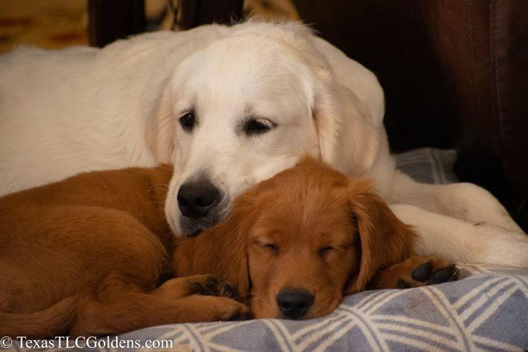 Golden Retriever Puppies Round Rock Tx