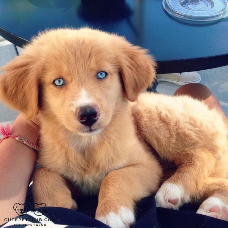 Golden Retriever Puppies Stuart Fl