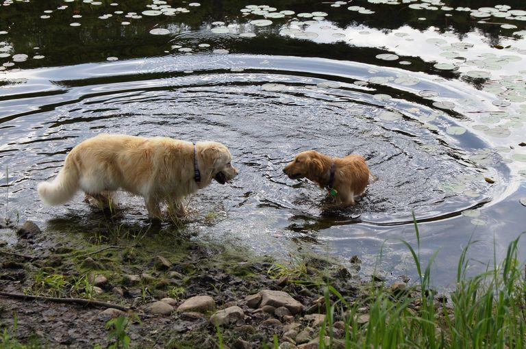 Golden Retriever Rescue Maine Biddeford Top Dog Information